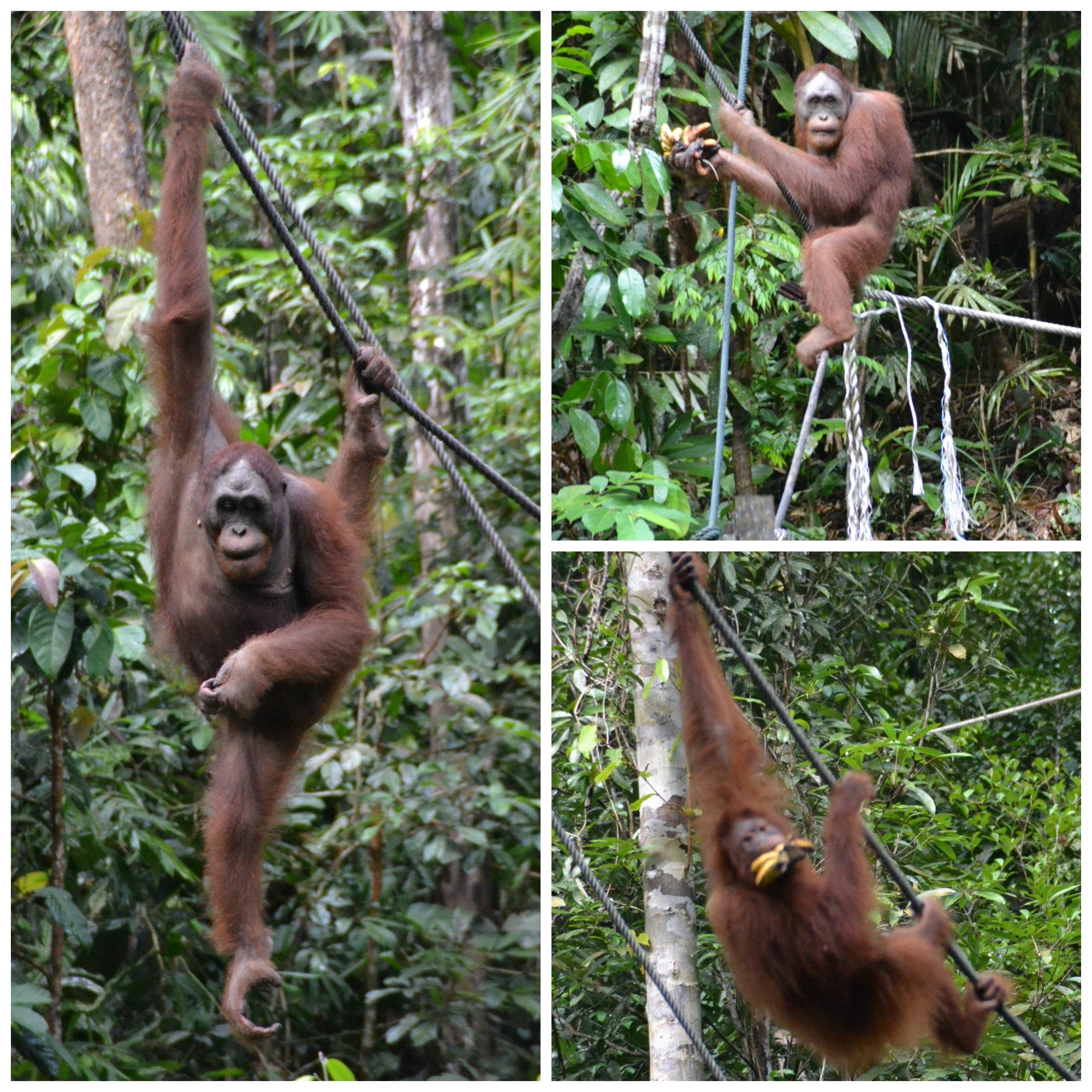 la colazione di Ritchie al centro di riabilitazione oranghi